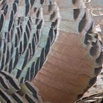 2017_ gould's turkey feather patterns_ Ash Canyon_ AZ_April_IMG_6845